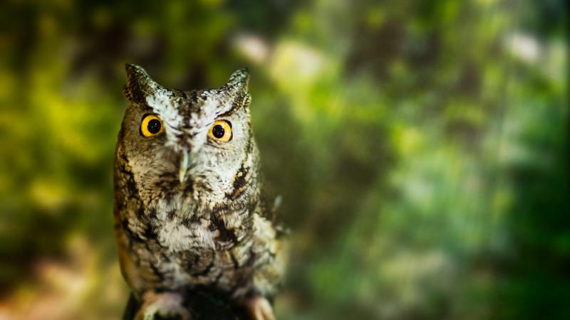 Amicalola Owl